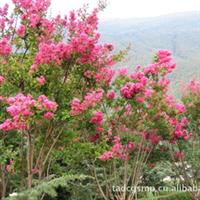 供应泰安紫薇、红叶小檗、金叶女贞、大小叶黄杨。