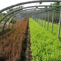 大量供应上盆金叶女贞、红叶小波、和各种绿化苗。