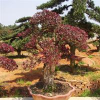 浏阳柏加镇双赢苗圃专供造型红桎木盆景