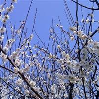 供应梅花 珍珠梅 美人梅 腊梅 杨梅 红梅等绿化乔木