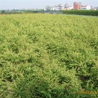 【热荐】产地直销绿化花卉苗木火棘,火棘球、火棘工程苗