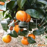 友利合作社供应批发生产优质特产水果柑橘系列十月桔