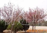 供应苗木花卉沙地柏 红叶小檗 金叶莸 马�m
