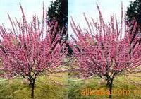 榆叶梅 丛生榆叶梅 2-6-8公分榆叶梅 榆叶梅苗