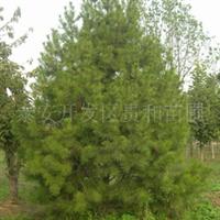 苗圃大量供应白皮松 专供绿化苗木