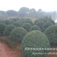 批发供应精品绿化苗木枸骨球