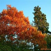 供应北美红栎(红橡树)
