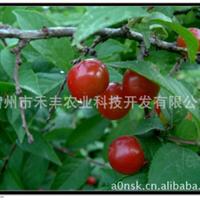 天然补钙新品种-药用观花赏果乔灌木-高钙果王
