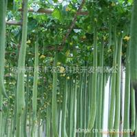 世界较长的丝瓜-适合生态园、农业科技园、观光园种植的品种。