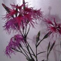 多年生 药用香草奇香瞿麦种子-神圣慈祥的母亲之花