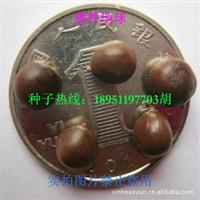 黄山栾种子 全缘栾树种子 黄山栾树种子 实拍优质正品 2012新