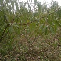 有大量桃树,桃树苗出售
