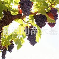 供应各种规格的葡萄树苗 葡萄苗!