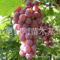出售优质果树苗,葡萄树苗,多种果树苗
