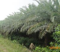 供应灌木 海枣,铁树,海枣树
