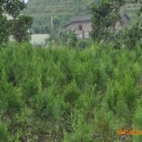 绿化苗木 大量供应优质侧柏 柏树种苗