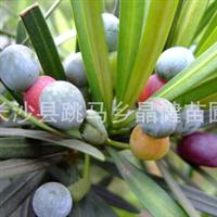 供应新采优质罗汉松种子