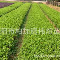 苗木基地专业供应大量优质常绿性灌木杜鹃/映山红