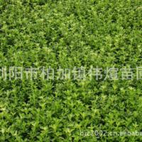 专业供应大量品质常绿性灌木六月雪小苗