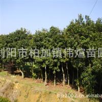 专业供应大量优质杨梅树  园林常绿性乔木