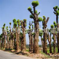 批发供应大量常绿性乔木香樟