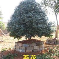 供��造型��美工程常�G灌木  茶花