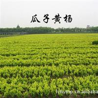 批发  造型优美工程常绿乔木瓜子黄杨