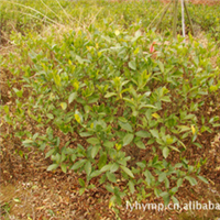 供应工程苗木——大叶栀子——各种绿化小苗