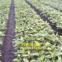 供应大量优质桃叶珊瑚色块工程苗