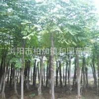 供应栾树——栾树苗——和各种绿化苗木