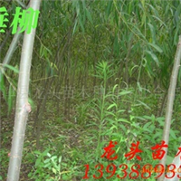 垂柳,绿化苗木,乔木,花灌木,灌木