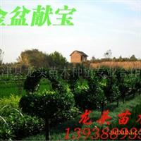 花篮造型,植物造型,黄杨,绿化苗木,乔木,花灌木,