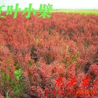 红叶小檗,园林绿篱,绿化苗木,乔木,花灌木,灌木