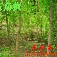 特供五角枫,色木,绿化苗木,乔木,花灌木,灌木