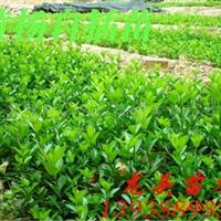 黄杨自插苗,绿化苗木,乔木,花灌木,灌木