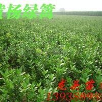 旱地优质黄杨,大叶黄杨,冬青树,小叶黄杨,绿化苗木