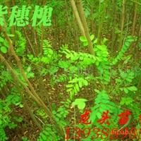 紫穗槐,绿化苗木,乔木,花灌木,灌木
