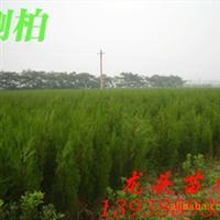 侧柏,绿化苗木,乔木,灌木,花灌木,