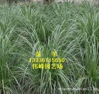 大量供应优惠优质苗圃蒲苇