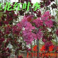 红花红叶李,绿化苗木,乔木,花灌木,灌木