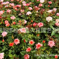 供应大量优质园林绿化钻石月季小苗    玫瑰月季