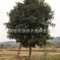 大量批发供应优质园林绿化乔木杨梅  实物拍摄参考