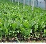 供应美人蕉 优质美人蕉 地被植物(图)