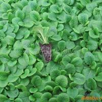 供应西洋樱草种苗、反季节种苗