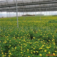 供应木春菊、用花镜、花坛、花带、下地