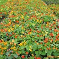 供应盆栽植物旱金莲
