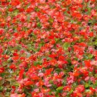 供应四季海棠、用于广场、花坛、花带、公园等摆放