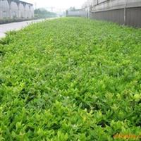 供应金森女贞苗木、红叶石楠苗木、绿化带、隔离带