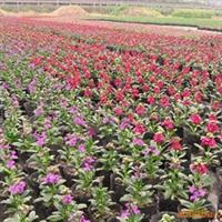 供应花坛、花丛、花镜花紫罗兰