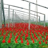 供应鸡冠花 绿化苗木(图)